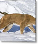Mountain Lion Puma Concolor Hunting Metal Print