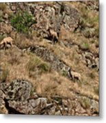 Mountain Sheep Hell Canyon Metal Print