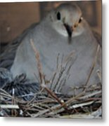 Mourning Dove With One Of Two Chicks Metal Print