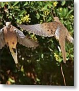 Mourning Doves Wings  Metal Print