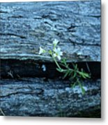 Mouse Eared Chickweed Metal Print
