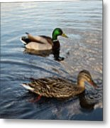 Mr And Mrs Duck On Parade Metal Print
