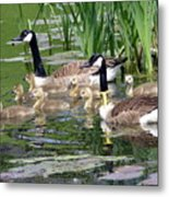 Mr And Mrs Goose And Family Metal Print