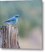Mr. Bluebird Metal Print