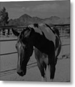 Mr Ed In Black And White Metal Print