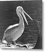 Mr Pelican Metal Print