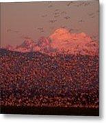 Mt Baker Snow Geese Metal Print