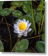 Mudd Pond Water Lily Metal Print