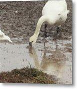 Muddy Tundra Swan Metal Print