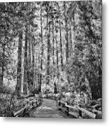 Muir Woods Bw Metal Print