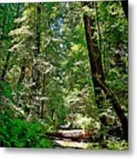 Muir Woods Study 22 Metal Print