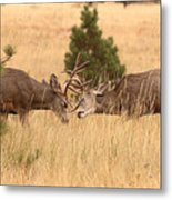 Mule Deer Bucks Sparring In Open Pine Woodlands Metal Print