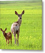 Mule Deer Doe And Fawn Looking Back Over Their Shoulders Metal Print