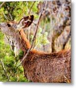 Mule Deer Foraging On Pine On A Colorado Spring Afternoon Metal Print