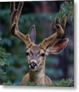 Mule Deer In Velvet 02 Metal Print