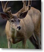 Mule Deer In Velvet 03 Metal Print