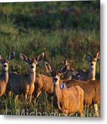 Mule Deer In Velvet 04 Metal Print