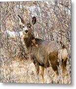 Mule Deer In Winter In The Pike National Forest Metal Print