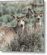 Mule Deer Visitors Metal Print