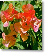 Multi-colored Bougainvillea At Pilgrim Place In Claremont-california  Metal Print