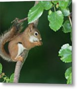 Munching Mulberries Metal Print
