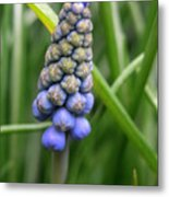 Muscari Drops Metal Print