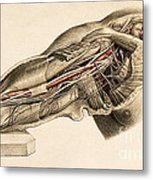 Muscles And Blood Vessels In Arm, 1851 Metal Print