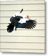 Muscovy Duck In Flight Passing A Building Metal Print