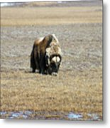Musk Ox Grazing Metal Print