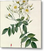 Musk Rose Metal Print by Pierre Joseph Redoute