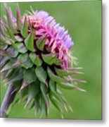 Musk Thistle In Bloom Metal Print