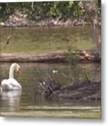Mute Swan         St. Joe River          June         Indiana Metal Print