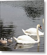 Mute Swan Family Day Two Metal Print