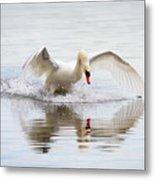 Mute Swan Landing I Metal Print