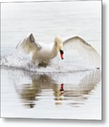 Mute Swan Landing II Metal Print