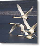 Mute Swans In Flight Metal Print