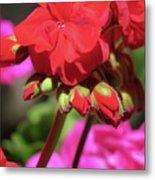 My Beautiful Geraniums And Buds - Images From The Garden Metal Print