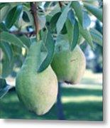 My Brothers Pear Tree Metal Print