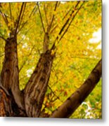My Maple Tree Metal Print