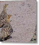 Namaqua Sandgrouse Metal Print