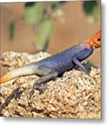 Namib Rock Agama, Male Metal Print