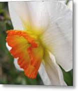 Narcissus II Metal Print