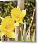Narcissus Of A Plant Metal Print