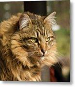 Nari A Maine Coon Cat Metal Print