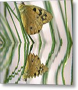 Native Tasmanian Butterfliy. Metal Print