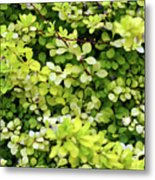 Natural Background With Small Yellow Green Leaves. Metal Print