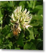 Nature In The Wild - Clover Honey Metal Print