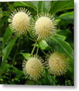 Nature In The Wild - Pin Cushions Of Nature Metal Print