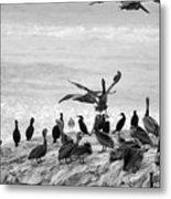Nature Pelicans Rock  Metal Print