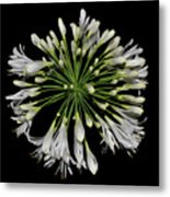 Natures Fireworks - Lily Of The Nile 005 Metal Print
